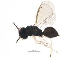 Image of Braconid parasite