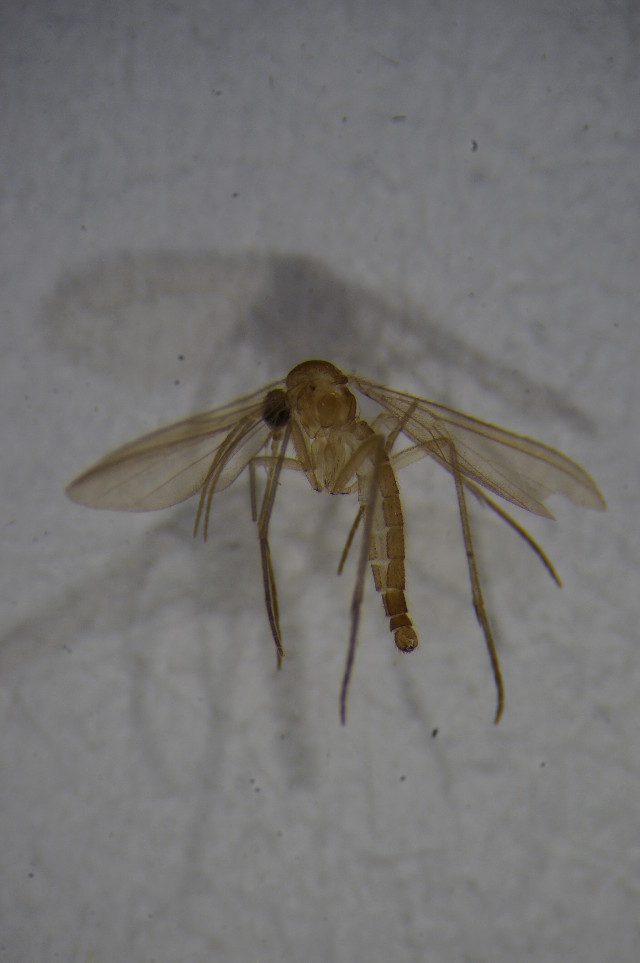 Image of <i>Diadocidia spinosula</i> Tollet 1948