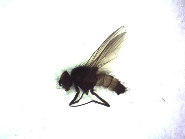 Image of <i>Thricops semicinereus</i> (Wiedemann 1817)