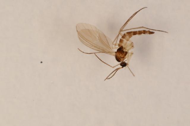 Image of <i>Phytosciara mima</i> Hippa 1991