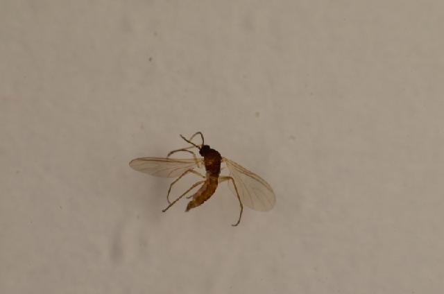 Image of <i>Corynoptera birgitae</i>