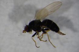 Image of <i>Chamaemyia</i>