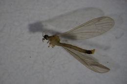 Image of <i>Paradelphomyia</i> (<i>Oxyrhiza</i>) <i>fuscula</i> (Loew 1873)