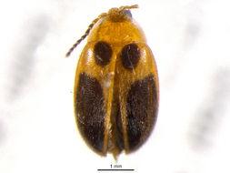Image of <i>Sacodes pulchella</i> (Guerin-Meneville 1843)