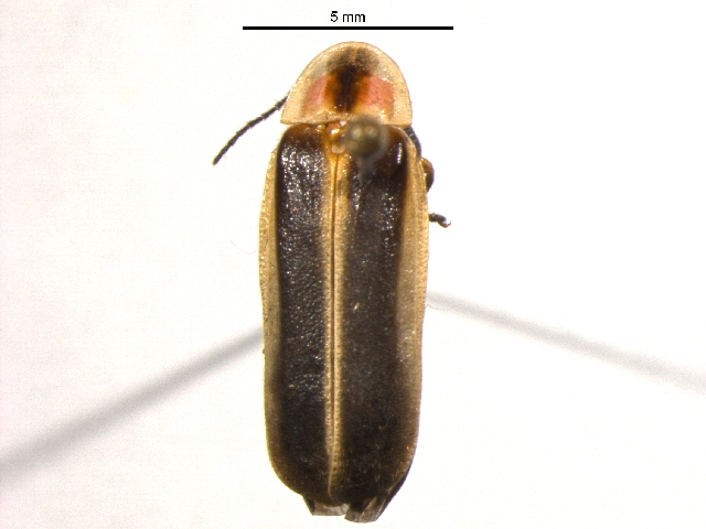 Image of Photinus