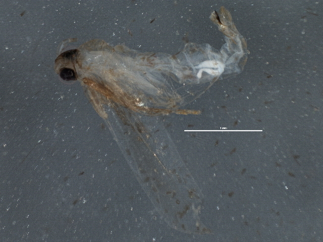 Image of Stenoptinea