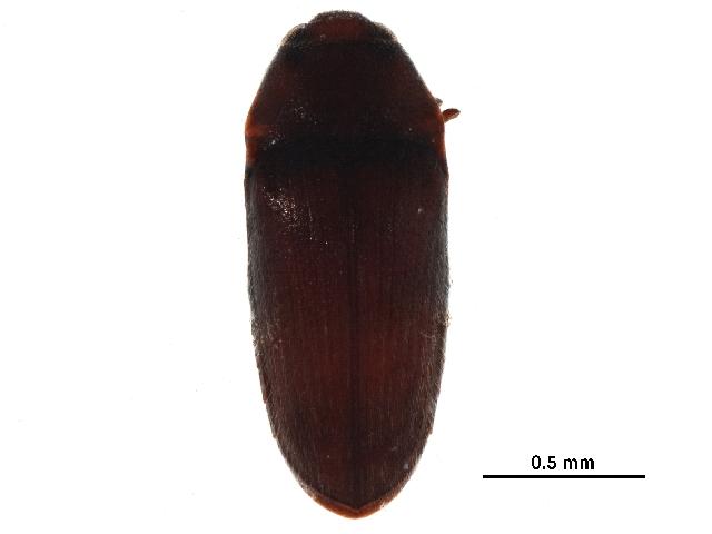 Image of <i>Aulonothroscus distans</i> Blanchard 1917
