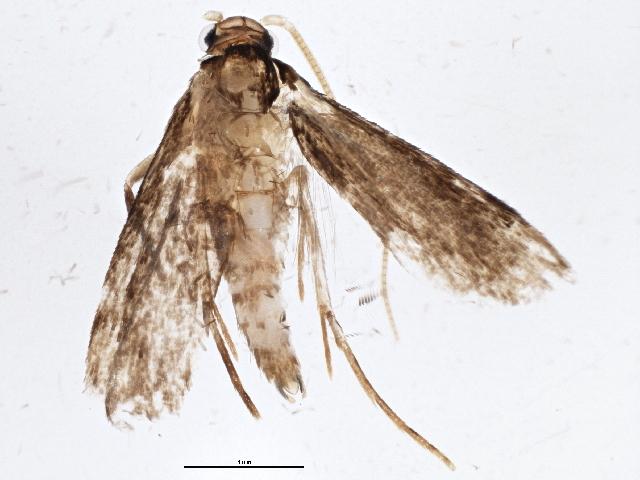 Image of Isocorypha