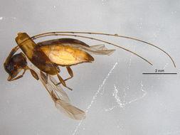 Image of Urgleptes
