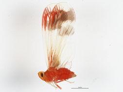 Image of <i>Anotia uhleri</i> (Van Duzee 1889)