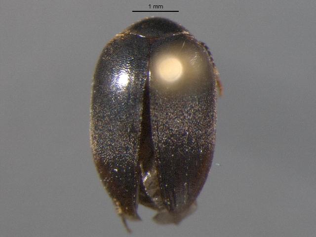 Image of <i>Nycteus oviformis</i> (Le Conte 1866)