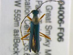 Image of <i>Encyclops caerulea</i> (Say 1827)