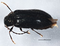 Image of soft-bodied plant beetles