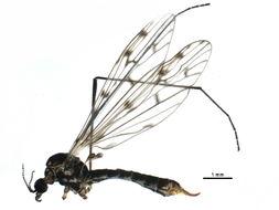 Image of <i><i>Symplecta</i></i> (Symplecta) <i>scotica</i> (Edwards 1938)