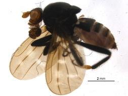 Image of Archiborborinae