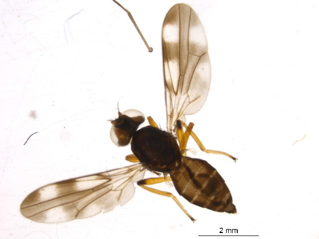 Image of periscelidid flies