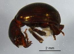 Image of scavenger scarab beetles