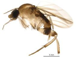 Image of Phorinae