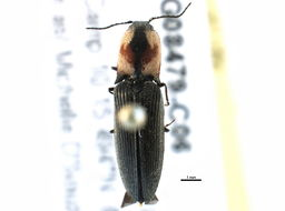 Image of Hemicrepidius Germar 1839