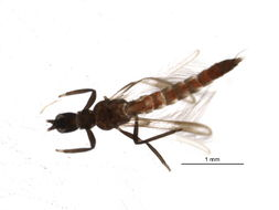 Image of Franklinothrips