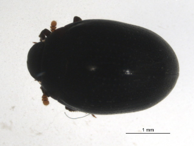 Image of wounded-tree beetles