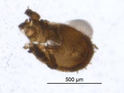 Image of Pheroliodidae