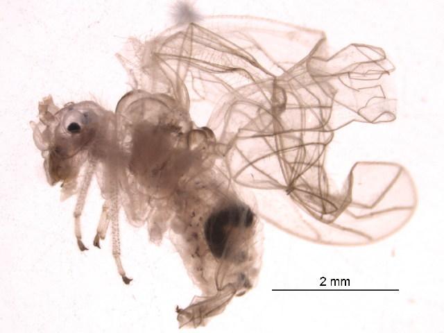 Image of hairy-winged barklice