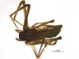 Image of Ogrefaced spider