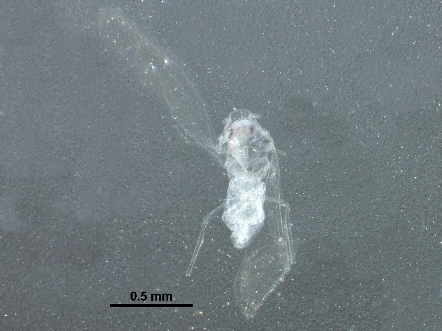 Image of Paraleyrodes