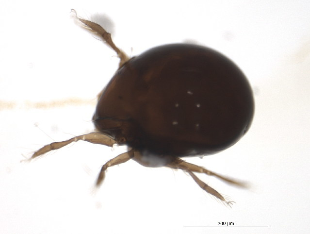 Image of Mochlozetidae