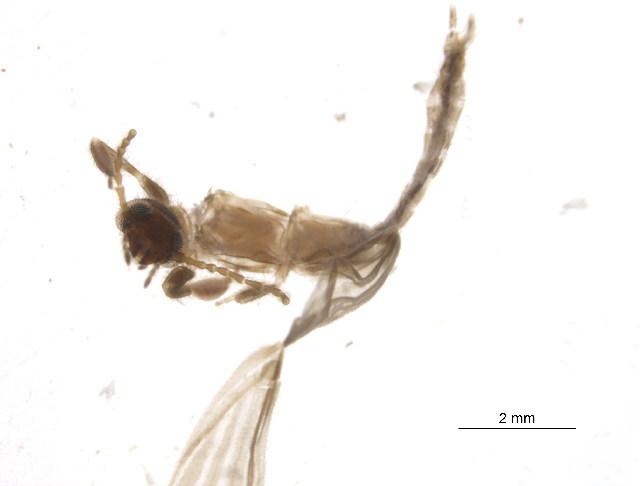 Image of Ptilocerembiidae