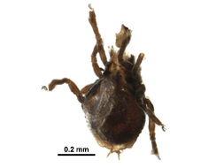 Image of Lyrifissellidae