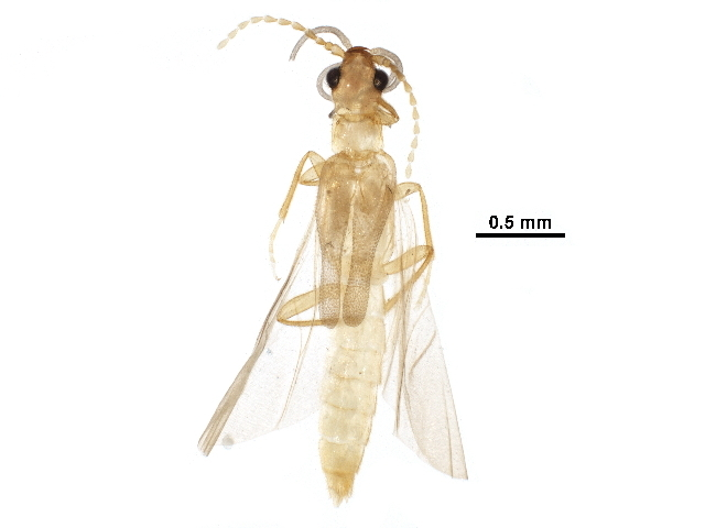 Image of long-lipped beetles