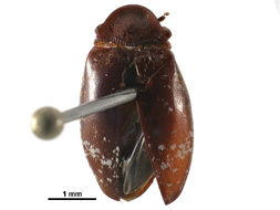 Image of turtle beetles
