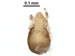 Image of Micreremidae