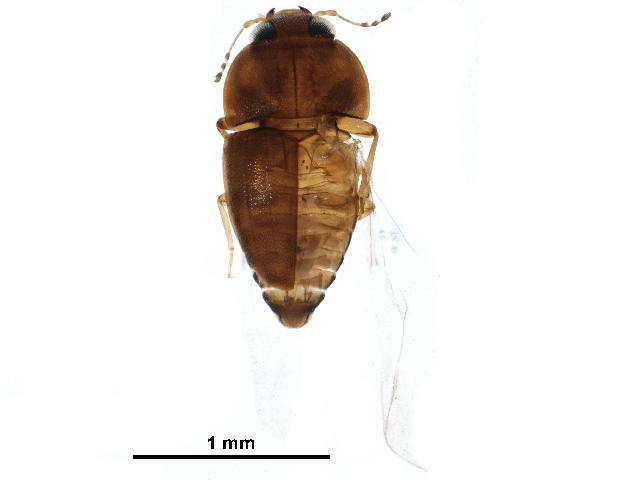 Image of Propalticidae