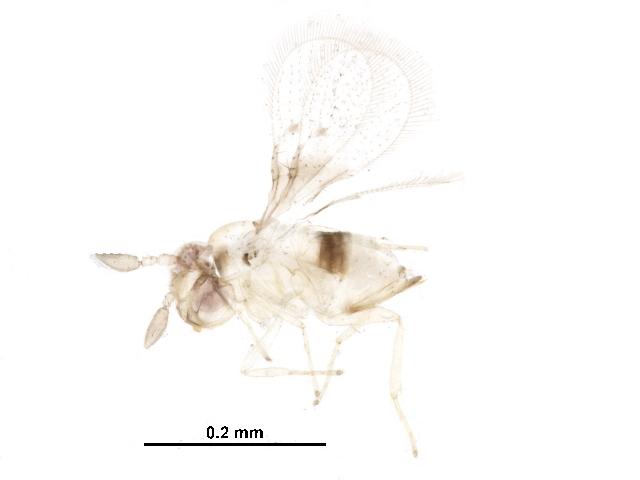 Image of Trichogrammatoidea