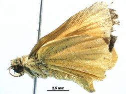 Image of Zariaspes