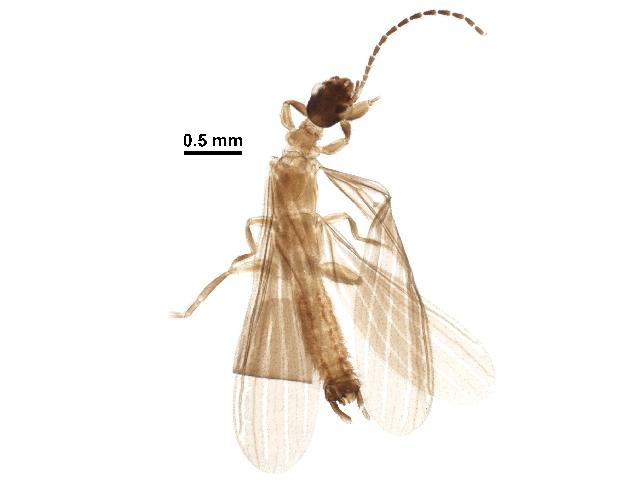 Image of Anisembiidae