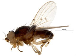 Image of odiniid flies