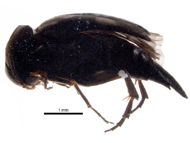 Image of <i>Mordellidae incertae sedis</i>