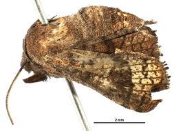 Image of window-winged moths