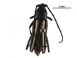Image of <i>Stenobatyle eburata</i> (Chevrolat 1862)