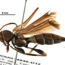 Image of <i>Acyphoderes suavis</i> Bates 1885