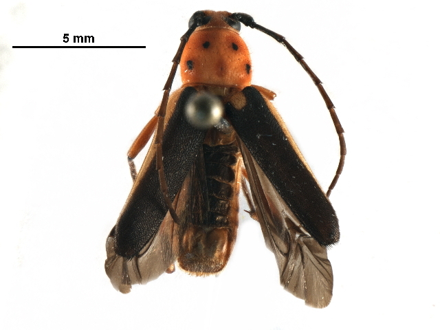 Image of <i>Axestoleus quinquepunctatus</i> Bates 1892