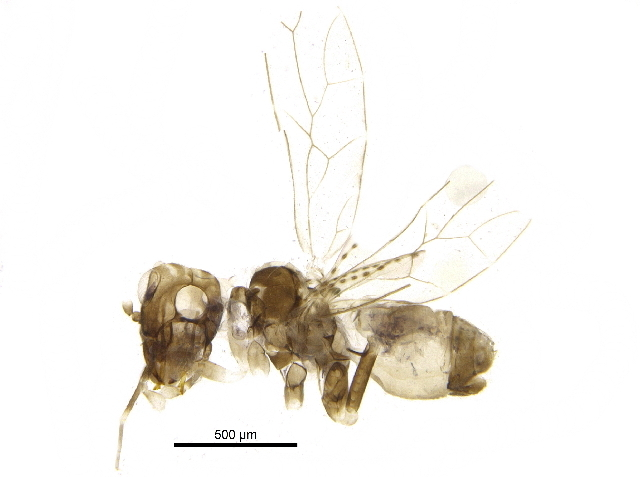 Image of large-winged psocids