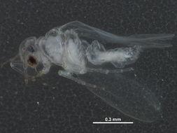 Image of <i>Tetraleurodes acaciae</i> (Quaintance 1900)
