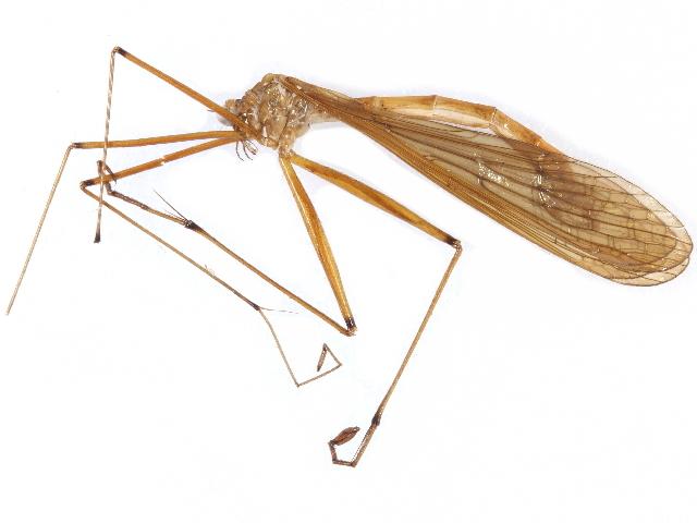 Image of hangingflies