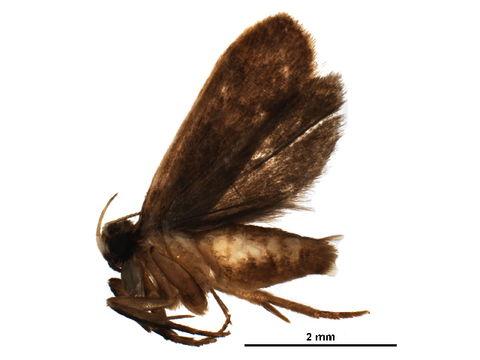 Image of <i>Dichocrocis sabatialis</i>