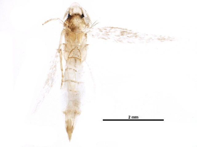 Image of Oinophila